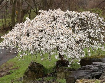 MARSEEDSHOP - 20 Snow fountain weeping cherry tree seeds DIY Home Garden