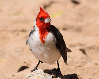 Red-Crested Cardinal Digital Download