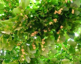 Tilia, herbs in planter, dried tilia, botanical tea tilia, Health and wellness, Herbal product,