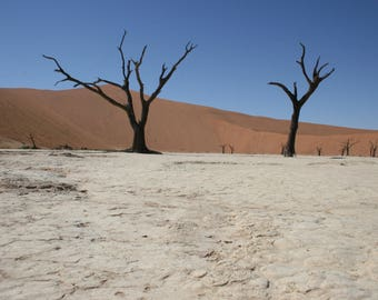 1,000 year old trees