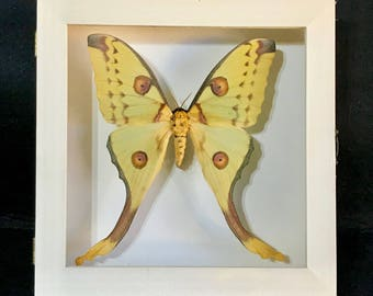 Dissected authentic butterflies ARGEMA mitrei female real-frame-collectibles-specimen-Taxidermy-Collectible