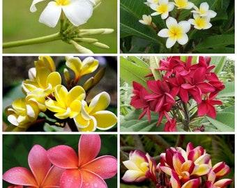 6 cutting mix colors 6 inches Plumeria Frangipani Tropical Plant Fresh