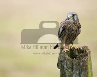 """Mounted Photographic Display Print - Kestrel #1 (A4 print in 14"""" x 11"""" Mount, Unframed)"""