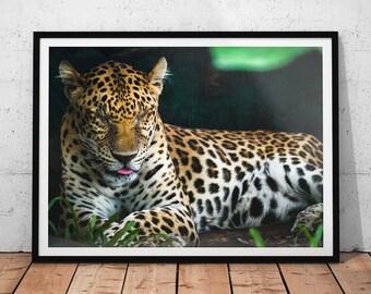 Sleeping Leopard Photo // Big Cat Wildlife Photography Print, Cute Animal Wall Art, Nature Photography Home Decor, Leopard Office Art