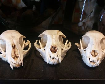 Domestic Cat Skull (Only C remains)