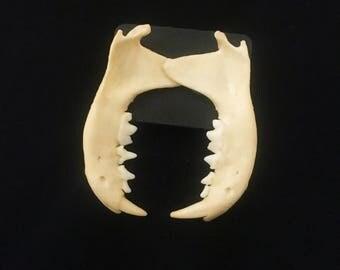 Skunk Jaw Post Earrings