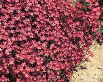 Saxifraga- Rose Robe- 100 seeds