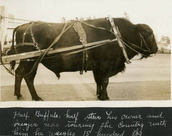 vintage photo 1921 Circus Animal Half Buffalo Half Cow Owner Toured Country Weighs 1500 lbs