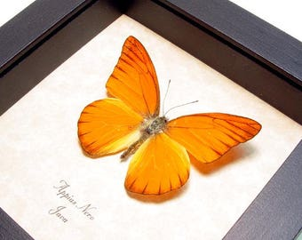 Real Framed Butterfly Orange Crush Conservation Display 279