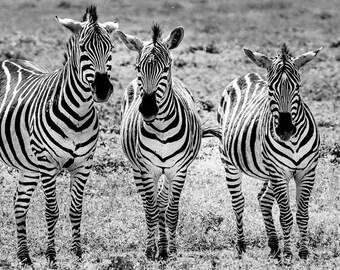 Zebra,Black and White,Zebras,Oversize,Africa,Tanzania,Wildlife,Big Five,Wall Art,Home Decor,Canvas Photography,Safari,African Art,High Key