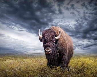 Buffalo Print, Plains Buffalo, American Buffalo, Yellowstone Buffalo, Wyoming Bison, Yellowstone Wildlife, National Park Photograph