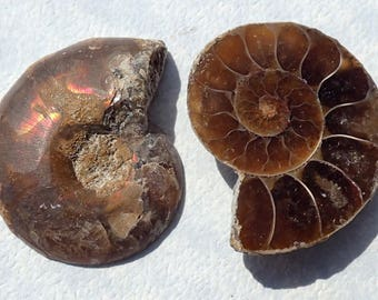 Natural Ammonite Spirals - Set of 2 - Use in Mosaics Jewelry - Mosaic Art Supplies - Fossils