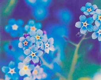 Narue Photography Flower Photo: Sentimental Forget me not Fine Art Macro Photography blue wall art Nature decor Spring Flowers Print
