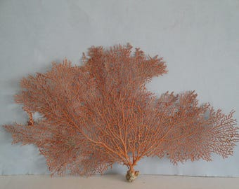 "14.5"" x 8.5"" Pacifigorgia Red  Sea Fan Seashells Reef Coral"