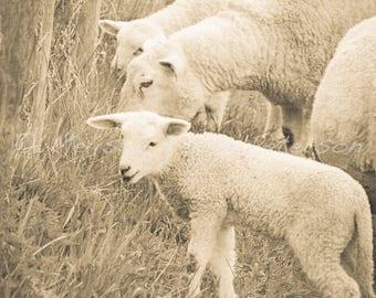 Little Lamb, Animal Photography, Nursery Decor, Sheep Photograph, Baby Animals, Lambs, Farm Wall Art, Black & White, Monochrome