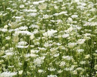 "ON SALE Queen Anne's Lace Field Flower Print 9"" X 12"" Fine Art Photography, Wildflower, Country Field of Flowers"