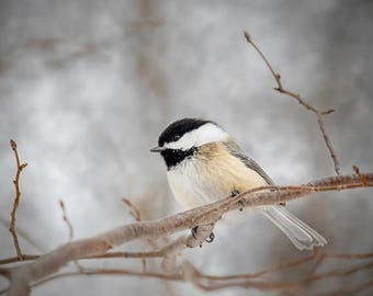 ON SALE Black Capped Chickadee, Bird Photography, Country Kitchen Bed Laundry and Bath Decor, Wall Art, Nature Print, Modern Rustic Decor