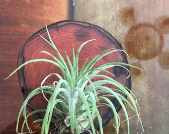 Air Plant mounted on a piece of redwood with neodymium magnets great to put on a fridge or anything metal (may not be that exact air plant)