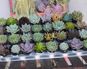 "5 Gorgeous ROSETTE Succulents in their 2.5"" round plastic containers Ideal for Wedding FAVORS party gifts"