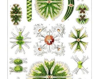 Ernst Haeckel's Vintage Artwork Desmidiea