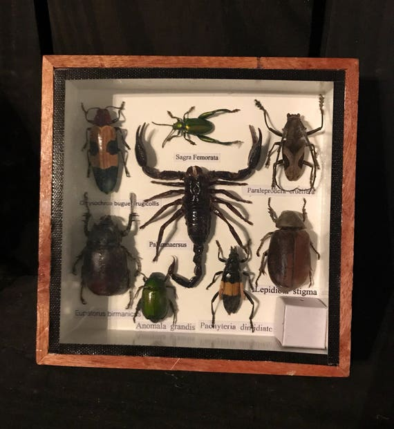 Scorpion Insects Displayed in ShadowBox