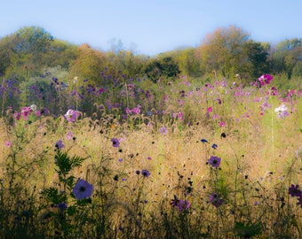 Fields, Harvest, Fall Flowers, Flower Meadow, Cosmos, Watercolor Flowers, Meadow Photography, Wild Flowers, Rustic Photos