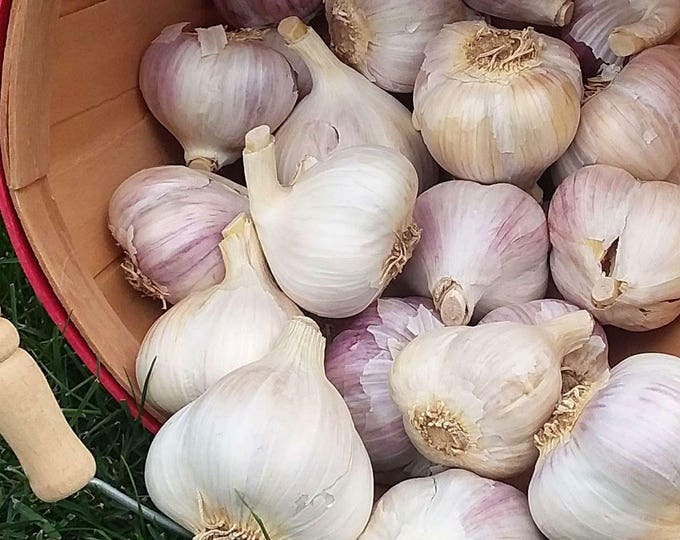 Mt Hood Garlic Bulbs Organic Grown Gourmet 1 Pound For Planting or Cooking Fall Shipping Porcelain Variety Non-GMO