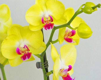 Orchid seeds, phalaeonopsis yellow orchid, yellow  orchids, code 525,orchid collection, gardening, flower seeds