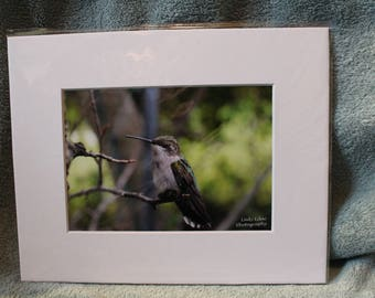 Resting Humming Bird - 8x10 Matted Print