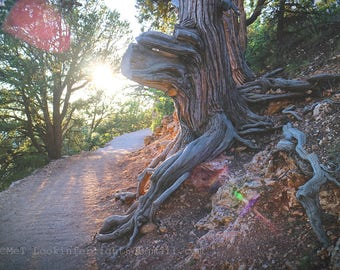 Sunshine & Tree Photo | Grand Canyon Tree | North Rim Grand Canyon | Arizona Nature Photo | Old Tree Photo | Sunlit Path Photo | Trail Photo