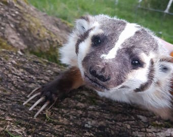 Soft Mount Taxidermy Badger: Made to order