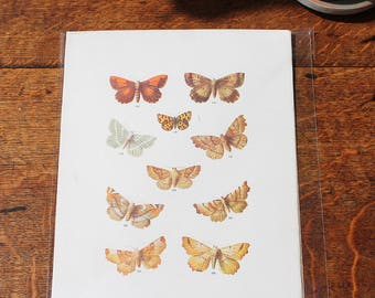 Vintage Butterfly Print circa 1903