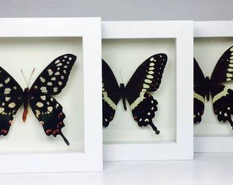 Three Framed Butterflies Wooden Frame Entomology Insect Art