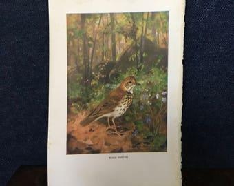 Wood thrush bird illustration for framing R Bruce Horsfall
