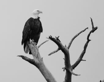 Bald Eagle Perched in Black & White