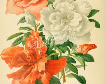 flowers-16616 - azalea indica Rhododendron indicum bouquet wonderful printable picture image print 300 dpi scan old book plate page graphics