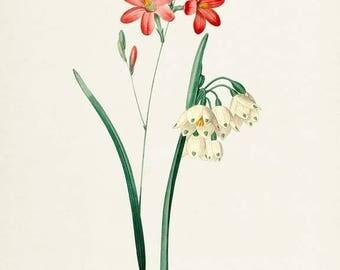 Summer Snowflake Flower Art Print, Botanical Art Print, Flower Wall Art, Flower Print, Floral Print, Redoute Art, red white, Phlox Ixia