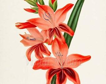 Gladiolus Robinetta Flower Art Print, Botanical Art Print, Flower Wall Art, Flower Print, Floral Print, Red Flower Art Print, Home Decor