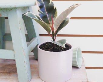 "Ficus Tineke Plant 4"""