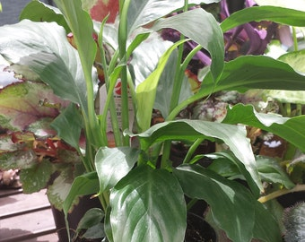 Starter Peace Lily-Peace Lily-Spathiphyllum-Clean Air Plant-Houseplant-Easy Care-Low Light Plant-Tropical-White Flowers-Office Plant