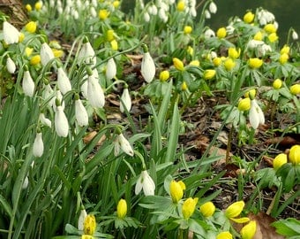 New for Spring.... Snowdrops and aconites