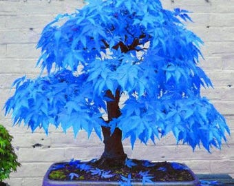 Blue Japanese Maple Bonsai Acer Seeds X 20 +