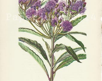 Vintage Book Plate - Botanical - Flowers - Wild Flower / Ironweed