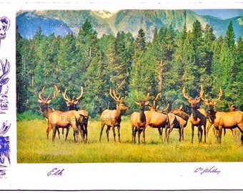 1955 - ELKS HERD - in CANADA, Rocky's mountains - Nice Drawings heads with large horns- Vintage colorful postcard- Mint,very Good Condition