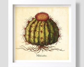 Cactus Wall Art, Vintage Melocactus Wall Decor, Cactus Art Print, Cactus Botanical Art, Melocactus Illustration, Besler Cactus Illustration