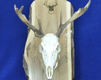 Deer Hunting ~ Skull Mount Board ~ European Mount Plaque ~ Deer Skull Mount ~ Gift For Hunter ~ Antler Mount ~ Antler Plaque ~ Taxidermy ~