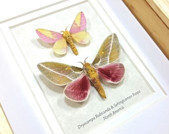 FREE SHIPPING Framed Dryocampa rubicunda & Sphingicampa raspa Rosy Maple Moth Taxidermy A1/A1-#114