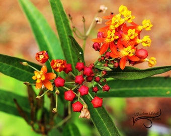 Savannah  Wildlife Refuge Hardee, SC.  Fine Art print red yellow and orange floral photograph. Available as a puzzle, tile, or gallery photo