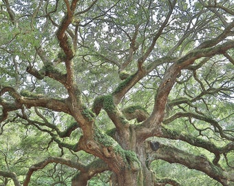 Angel Oak, Tree Photography, Angel Oak Tree, Charleston Photo Art, Johns Island Plantation, South Carolina, Tree Wall Art, Angel Oak Canvas