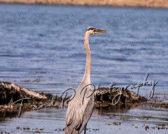 Digital Download Photography, birds, sea life, bird photos, stock bird photo, home decor, wall art, ocean, instant download, printable art